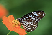 Butterfly Prints - The Butterfly On Green Background. Print by Photo by Agni