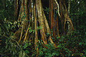 Tree Roots Photo Posters - The Buttressed Roots On A Strangler Fig Poster by Steve Winter