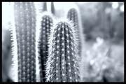 Courtney Lively - The Cacti Family