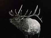 Elk Drawings - The Call by Carol Matz