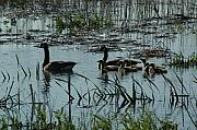Canadian Marsh Prints - The Canadian Geese Family Revisited Print by See Me Beautiful Photography