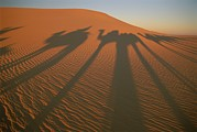 Camel Photos - The Caravans Shadow Casts An by Carsten Peter