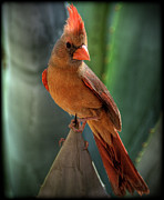 Small Animals Posters - The Cardinal  Poster by Saija  Lehtonen