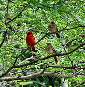 Baby Cardinals Posters - The Cardinals Poster by Jennifer Stone