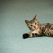 Flooring Prints - The Cat Which Relaxes On A Floor Print by Akimasa Harada