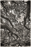 Black And White Photos - The Century Oak 2 by Scott Norris