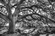 Black And White Photo Framed Prints - The Century Oak Framed Print by Scott Norris
