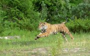 Siberian Tiger Photo Posters - The Chase Begins Poster by Sandra Bronstein