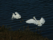 White Birds Photos - The Chase by Ernie Echols