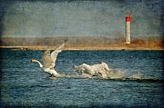 Swans... Digital Art Framed Prints - The Chase Is On Framed Print by Lois Bryan