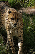 Cheetah Photo Posters - The Cheetah 3 Poster by Ernie Echols