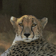 Cheetah Framed Prints - The Cheetah Framed Print by Ernie Echols
