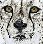 African Cat Prints - The Cheetah II Print by Lynn Andrews
