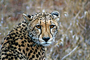 Golden Leopard Framed Prints - The Cheetah Stare Framed Print by Paul Fell