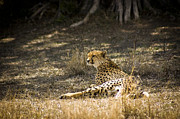 Big Cats - The Cheetah Wakes Up by Darcy Michaelchuk