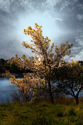 The Cherry Blossom Tree . 7d12703 Print by Wingsdomain Art and Photography