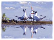 Tern Framed Prints - The chorus Framed Print by Thanh Thuy Nguyen
