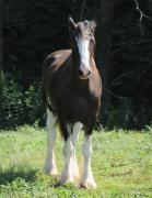 Terry Kirkland Cook - The Clydesdale