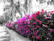 Pink Bougainvillea Posters - The Color Purple Poster by Douglas Barnard