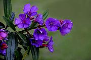 Dew Originals - The Color Purple by Lyle  Huisken