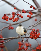 Titmouse Metal Prints - The Color Red Metal Print by Betty LaRue