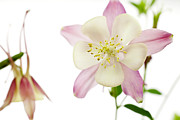 The Columbine Print by Brad Rickerby
