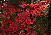 Red Leaves Photos - The Coming Change by Marjorie Imbeau