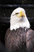 Bald Eagle Photo Framed Prints - The Commander Framed Print by Julius Reque