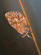 Eavning Digital Art - The Common Blue by Rikard  Olsson
