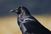 Corax Prints - The Common Raven Print by Sharon  Talson