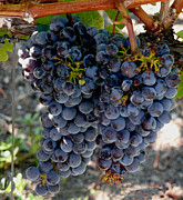 Concord Grapes Art - The Concord by Richard Ortolano