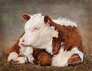 Calf Photo Posters - The Contented Calf Poster by Terry Kirkland Cook