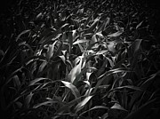 Cornfield Photos - The Cornfield by Joyce  Kimble Smith