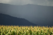 Kamloops Prints - The Cornfield Print by Peter Olsen