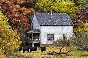 Barn Windows Posters - The Cows Came Home Poster by Debra and Dave Vanderlaan