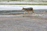 Coyote Photos - The Coyote - Dogs are by far more dangerous by Christine Till