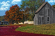 Cranberries Framed Prints - The Cranberry Farm Framed Print by Gina Cormier