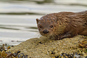 Otter Photos - The Curious River Otter by Tim Grams