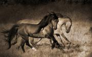 Wild Mustangs Posters - The Dance Poster by Lisa Dearing