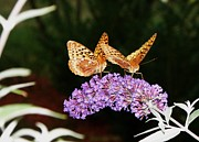 Christy Bruna Art - The Dancing Butterflies by Christy Bruna