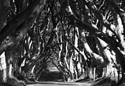 Dark Hedges Posters - The Dark Hedges of Stranocum Poster by Martine Maclennan