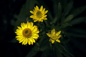 Gippsland Prints - The Delicate Yellow Petals Of The Paper Print by Jason Edwards