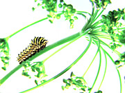 Swallowtail Posters - The Dill Express Poster by Amy Tyler
