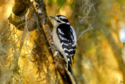 Small Bird Posters - The Downy Woodpecker Poster by David Lee Thompson