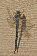 Dragon Fly Photos - The Dragon  by Rick  Monyahan