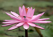 The Dragonfly And The Pink Water Lily Print by Sabrina L Ryan