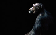 Ape Metal Prints - The Dreamer Metal Print by Dan Holm