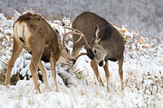 Mule Deer Buck Photograph Photos - The Duelists by Jim Garrison