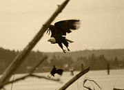Tree In Background Framed Prints - The Eagle Flies With The Crow Framed Print by Kym Backland