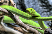 Mamba Posters - The Eastern Green Mamba Poster by JC Findley